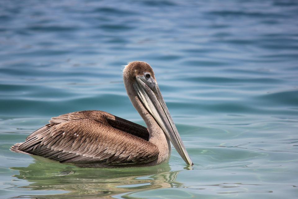 Pelícano en Playa Cristal Santa Marta. Crystal Beach. one day tour to Tayrona Park