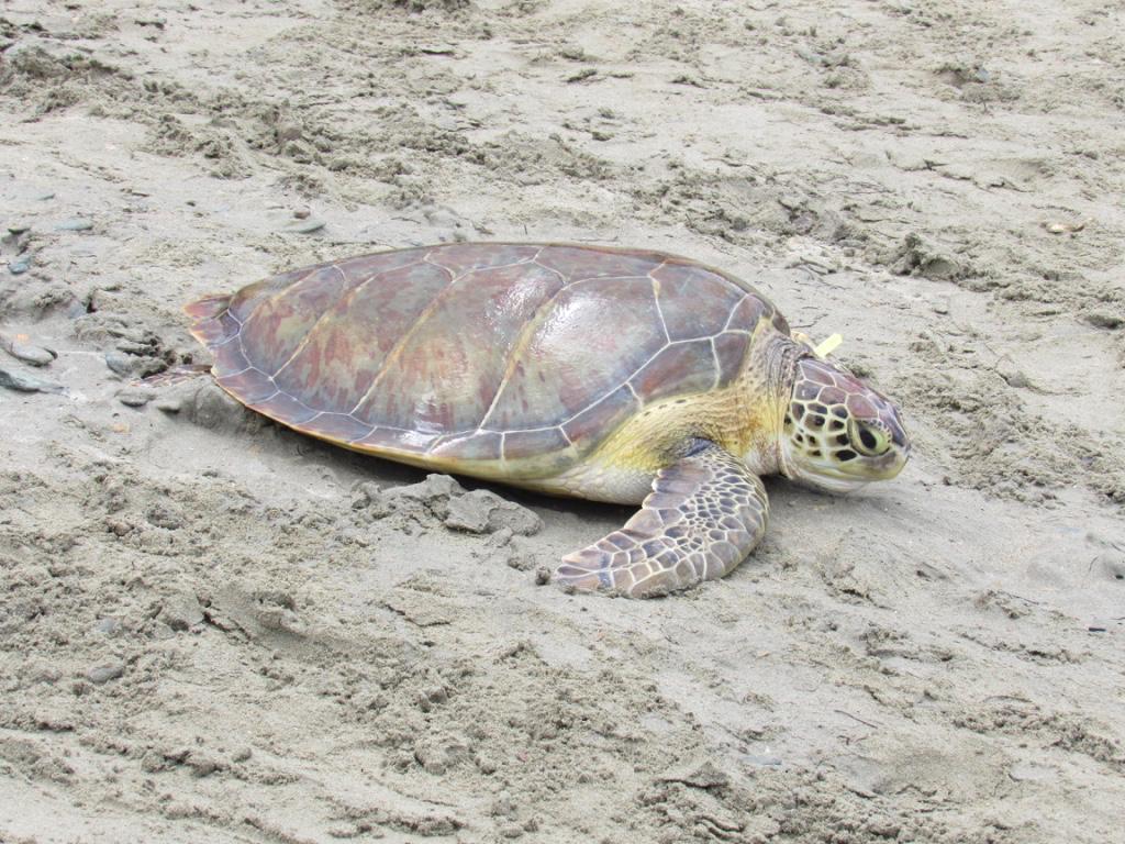 Por qué es importante proteger a las tortugas marinas